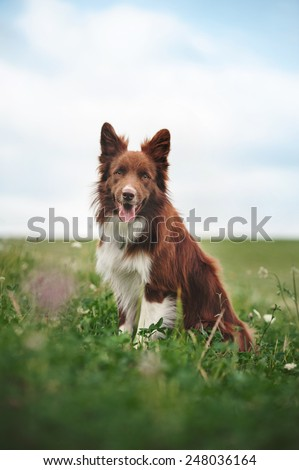 Red border collie dog sitting in a meadow, summer  - stock photo