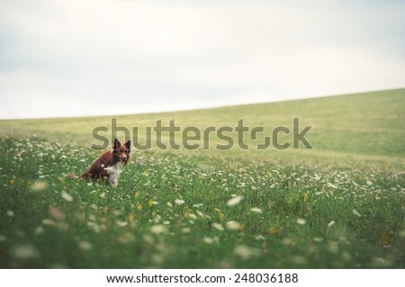 Red border collie dog sitting in a meadow, summer