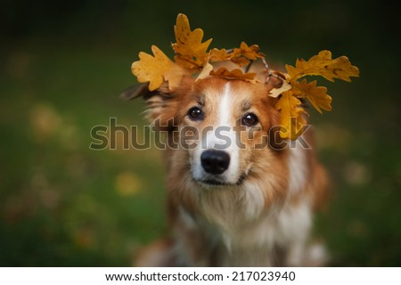 Red Border Collie under yellow leaves in autumn - stock photo