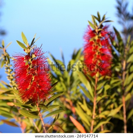 Red Bottlebrush Callistemon with a blue sky in the background. - stock photo