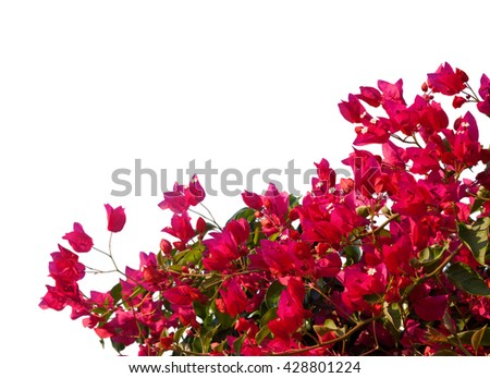 Red  bougainvilleas isolated on white background. - stock photo
