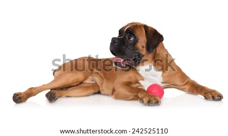 red boxer dog with a toy ball - stock photo