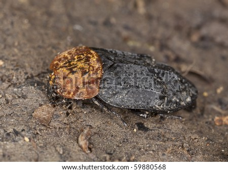 Red-breasted carrion beetle (Oiceoptoma thoracicum)