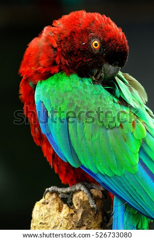 Red-Breasted Musk-Parrot (Prosopeia tabuensis tabuensis) grooming