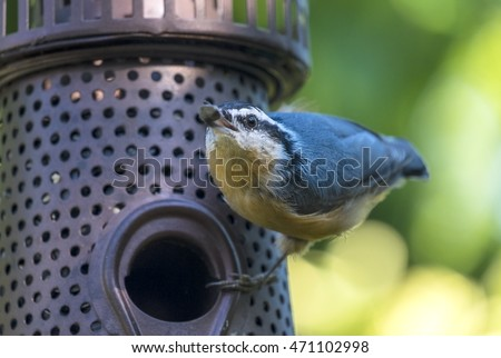 Red-breasted Nuthatch on Backyard Bird Feeder