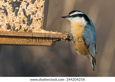 Red-breasted Nuthatch perched on a bird feeder.