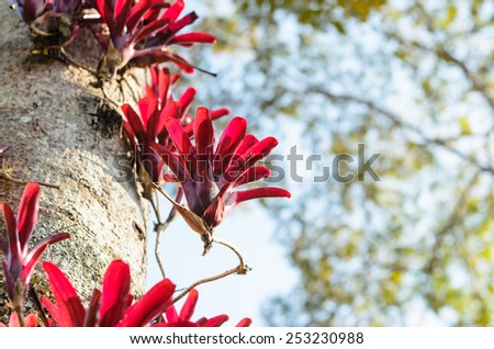 Red Bromeliad planted on trunk of big tree, natural background. - stock photo