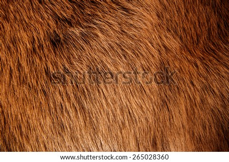 Red Brown Wolf Fox Fur Soft Skin Hair Natural, Animal Wildlife Concept and Style for Background, textures and wallpaper. / Close up Full Frame. - stock photo