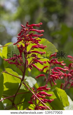 Red Buckeye - Aesculus pavia - Wildflowers/Red Buckeye - Aesculus pavia - Wildflowers/Red Buckeye - Aesculus pavia - Wildflowers