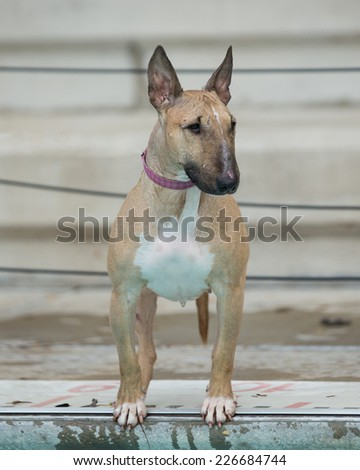 Red bull terrier at the side of the pool - stock photo