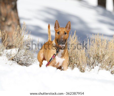 Red Bull Terrier posing in the snow - stock photo