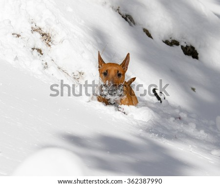 Red Bull Terrier with snow on his face in a deep snow drift - stock photo