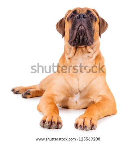 red bullmastiff puppy lying on a white background. dog portrait isolated. age 6 months. head up, look up