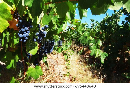 Red bunch of grapes in the vineyard, Alentejo region, Portugal