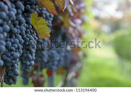 Red bunch of grapes in the vineyard at harvest time - stock photo