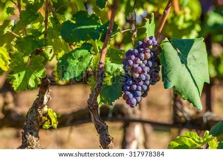 Red bunch of grapes on a vine ready for picking. From this grape it is produced Retsina, table wine most popular in Greece. - stock photo