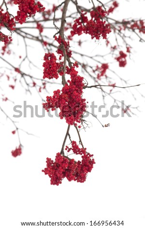red bunches of rowan on white background - stock photo