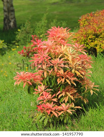 Red bush in Wales - stock photo
