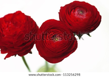 Red buttercup flower isolated white - stock photo