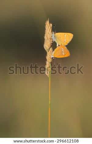 red butterfly Scarce Copper , Lycaena virgaureae - stock photo