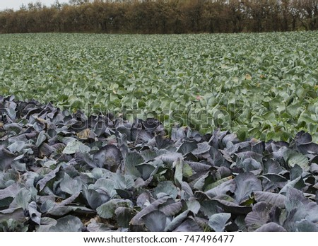 Red Cabbage And On A Field In Schleswig Holstein