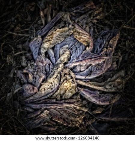 Red cabbage leaves on a Compost Heap/Artistically alienated to create a grungy somber atmosphere. - stock photo