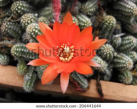 Red cactus flower - stock photo