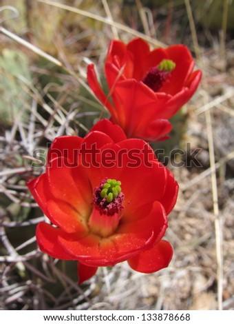 Red cactus flowers - stock photo