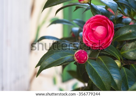 red camellia - stock photo