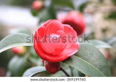 Red Camellia flower closeup,beautiful red flowers and buds blooming in the garden in spring - stock photo