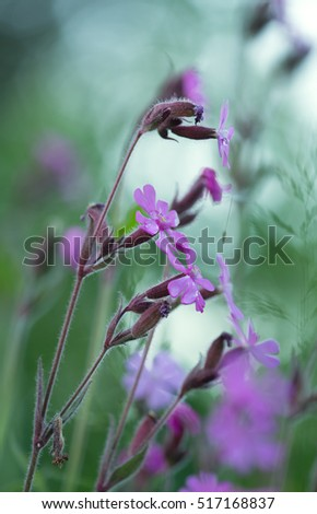 Red campion, Silene dioica photographed early morning