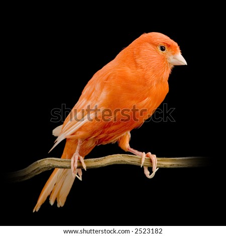 Red canary on its perch in front of a black background