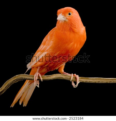 Red canary on its perch in front of a black background - stock photo