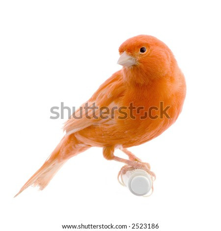 Red canary on its perch in front of a white background - stock photo