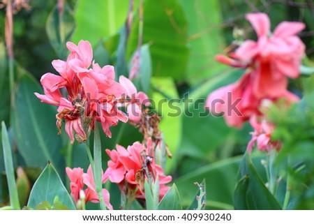 Red Canna flower in garden. - stock photo