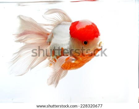 Red Cap Goldfish isolated on White Background