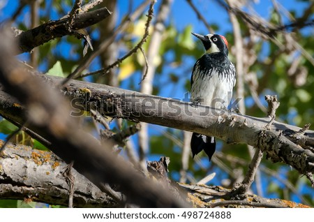 Red capped California acorn woodpecker perching on tree branch with sky background