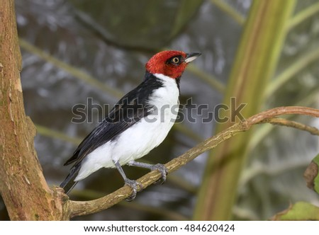 Red-capped Cardinal (Paroaria gularis), captive (native to South America), Moody Gardens, Galveston, Texas, USA