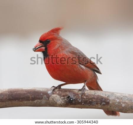 Red Cardinal - stock photo