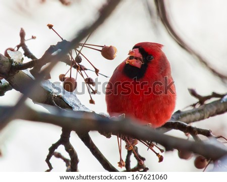 Red Cardinal eating Winterberry in Winter - stock photo