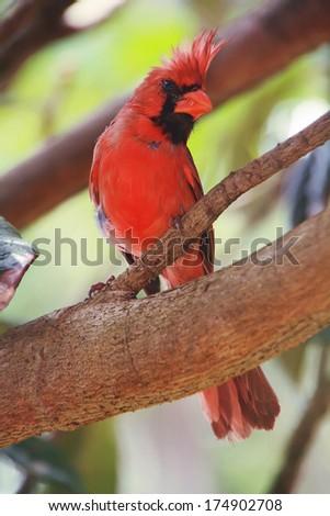 Red Cardinal in Maui island, Hawaii - stock photo