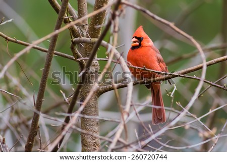 Red Cardinal on tree branch - stock photo