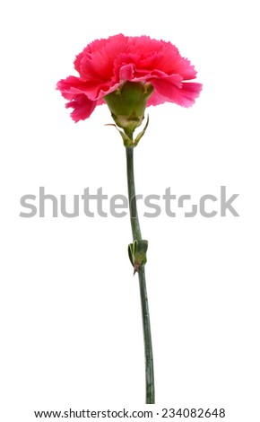 red carnation against white background