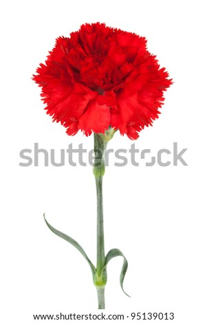 red carnation close-up on a white background