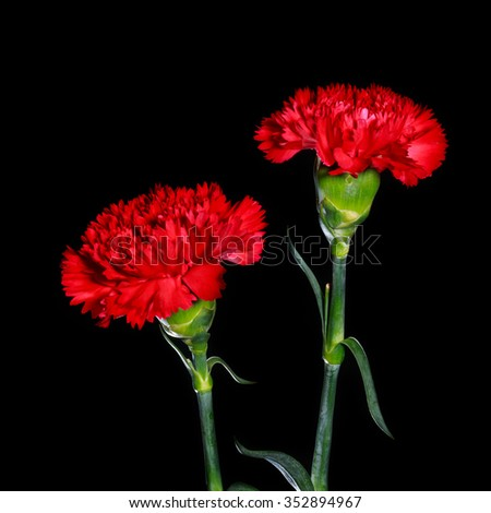 red carnation flower on black isolated background