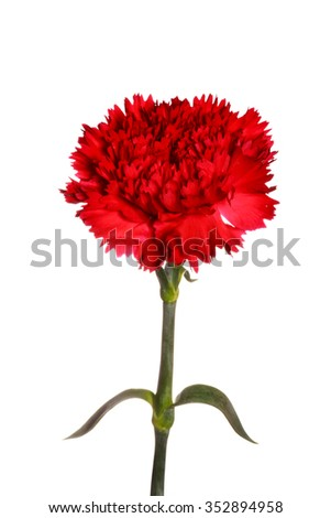 red carnation flower on white isolated background