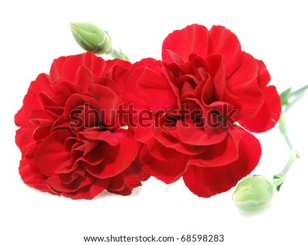 Red carnation flowers - stock photo