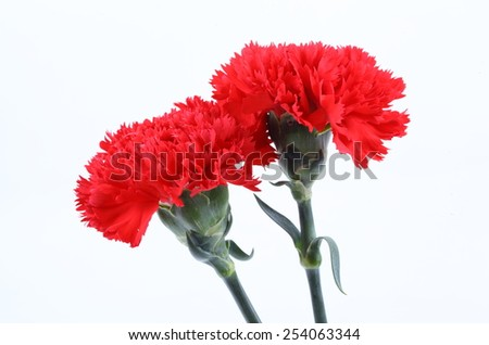 Red Carnation on White background
