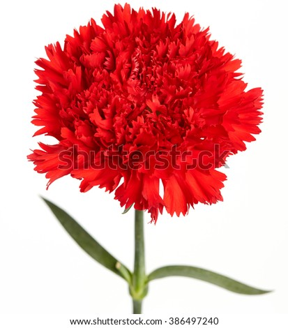 Red carnations flower isolated on white background - stock photo