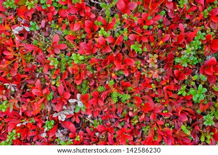 Red carpet of plants in Lapland - stock photo